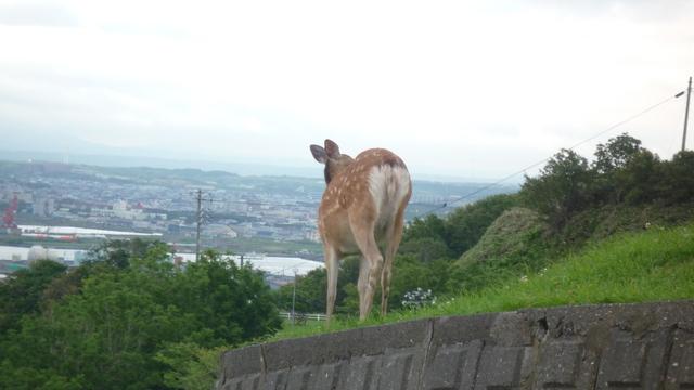 稚内公園 鹿